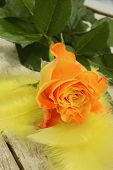 Yellow Rose And Feathers
