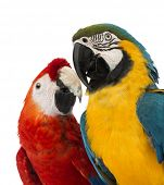 foto of green-winged macaw  - Close - JPG