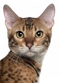 image of bengal cat  - Close - JPG