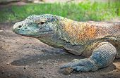 stock photo of komodo dragon  - Portrait of Komodo Dragon  - JPG