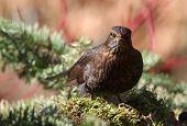 blackbird (merula Turdus) looking for food in a garden