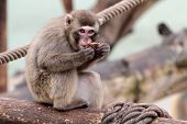 Young Japanese Macaque Eating On A Log