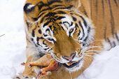 Tigre siberiano come