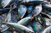 Chub mackerels, sea fish in Thailand