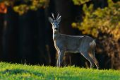 deer in natural habitat