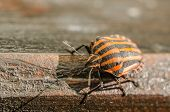 stock photo of shield-bug  - Extreme Macro Details Of A Red Striped Shield Bug Or Stink Bug - JPG