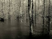 Flooded Black and White Trees