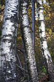 birch Trees trunk closeup