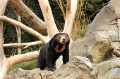 pic of deforestation  - Sun bears are under threat both directly and indirectly from human activities - JPG
