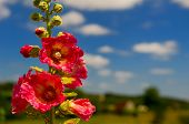 Detail of pink common Hollyhock flowers in front of a blue sky