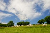stock photo of charolais  - White Charolais cows in French landscape - JPG