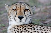 stock photo of cheetah  - Portrait of a wild Cheetah cat with beautiful brown eyes - JPG