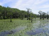 Caddo Lake 4