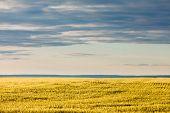 Ripe Wheat Field In Evening Sun Under Dramatic Sky