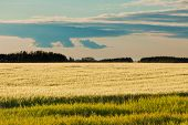 Ripe Wheat Field Distant Forest In Evening Sun
