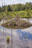Beaver Castor Canadensis Lodge In Taiga Wetlands