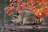 Raccoon (Procyon lotor) Washes Paws