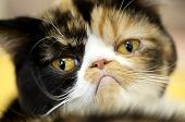 picture of thoroughbred  - Grumpy facial expression Exotic tortoiseshell cat portrait close - JPG