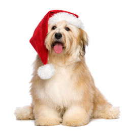 image of puppy christmas  - Cute reddish sitting Bichon Havanese puppy dog in a Christmas  - JPG
