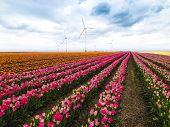 tulip field in spring