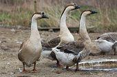 Geese on the farm