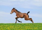 stock photo of foal  - Newborn Trakehner foal is running through meadow - JPG