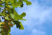 Oak Leaves Against The Blue Sky