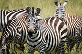 Zebra lunch