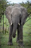 Ambling Elephant