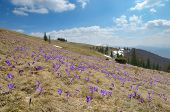 Flowering meadow in the mountains. Spring landscape sunny day. Carpathians, Ukraine