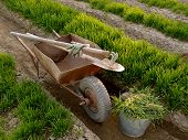 foto of wheelbarrow  - old wheelbarrow with garden tools between vegetable beds with growing wheat as green manure - JPG