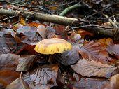 Mushroom Gymnopilus