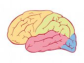 Areas of the human brain. Vector illustration of human brain with colored lobes.