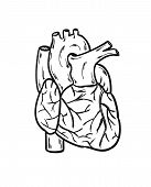 pic of coronary arteries  - sketch of the human heart on the white background isolated - JPG