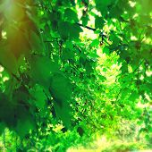 Instagram style image of green leaves and branches during spring
