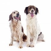 stock photo of epagneul  - two spaniels in front of white background - JPG