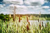 stock photo of bulrushes  - Cloudy spring landscape with bulrush and trees - JPG