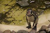 Squawking Humboldt Penguin