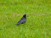 Black crow in the grass