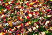 Multi-colored autumn leaves close-up on grass