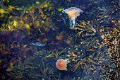 Jellyfish, Seydisfjordur Iceland