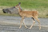 Fawn Walks In Park.