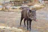 Boar Pig, Andes Mountains
