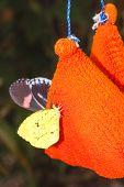 Interesting amazonian butterfly, Yasuni National Park
