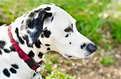picture of firehouse  - a dalmatian on a green grass outdoors - JPG