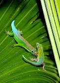 Two geckos