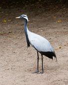 Adult Demoiselle Crane