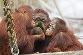 Orangutans Eat Together