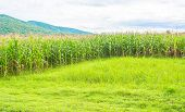 Image Of Corn Field And Sky In Background