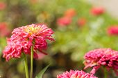 pic of gerbera daisy  - Gerbera daisy pink flower on nature background - JPG
